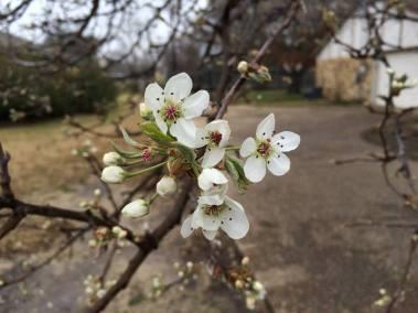 Lenten Blossoms